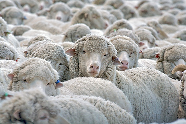 a flock of sheep signal trouble falling and staying asleep