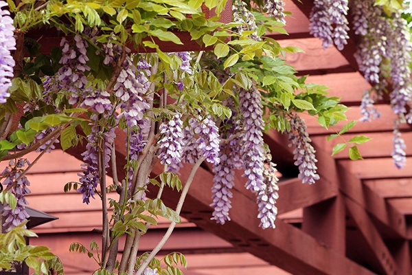 beautiful wooden pergola with blooming wisteria overhead